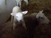 agneau_sur_dos